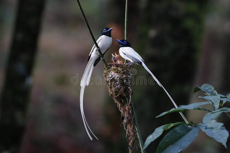 O branco paradisi de Terpsiphone do papa-moscas asiático do paraíso morph o bebê do ninho fotos de stock