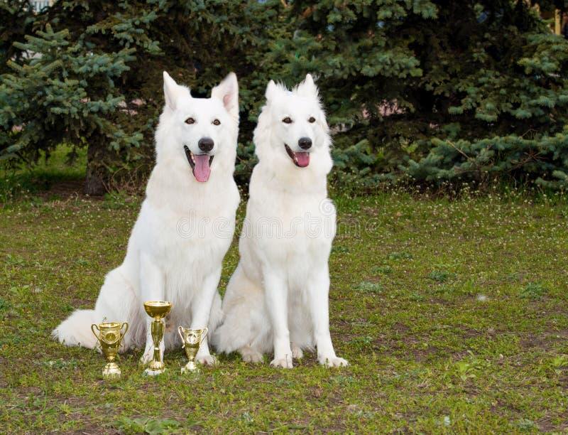 O branco Shepherds dois amigos fotos de stock
