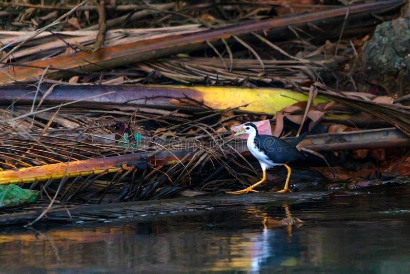 O brancos-breasted waterhen ou do phoenicurus de Amaurornis caminhadas ao lado do rio fotografia de stock royalty free