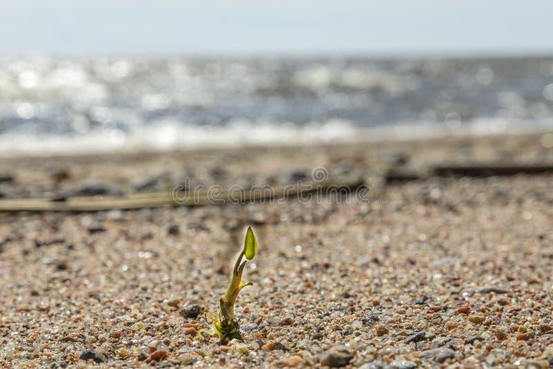 O broto solitário fez sua maneira e está lutando-a pela vida em uma praia selvagem, contra a areia e o mar o conceito da sobreviv fotografia de stock