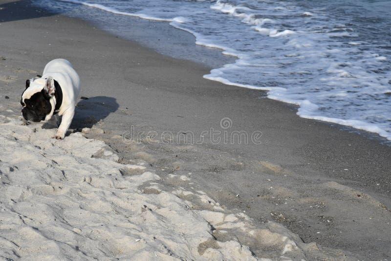 O buldogue francês bonito está andando pela areia perto das ondas da ressaca imagens de stock