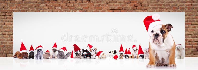 O buldogue inglês Santa conduz a grande equipe dos animais perto de billboar foto de stock