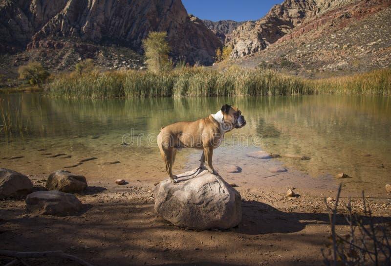 O buldogue levantou em uma rocha pela água imagens de stock