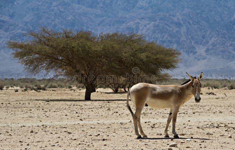 O burro selvagem asiático do marrom do onagro fotografia de stock