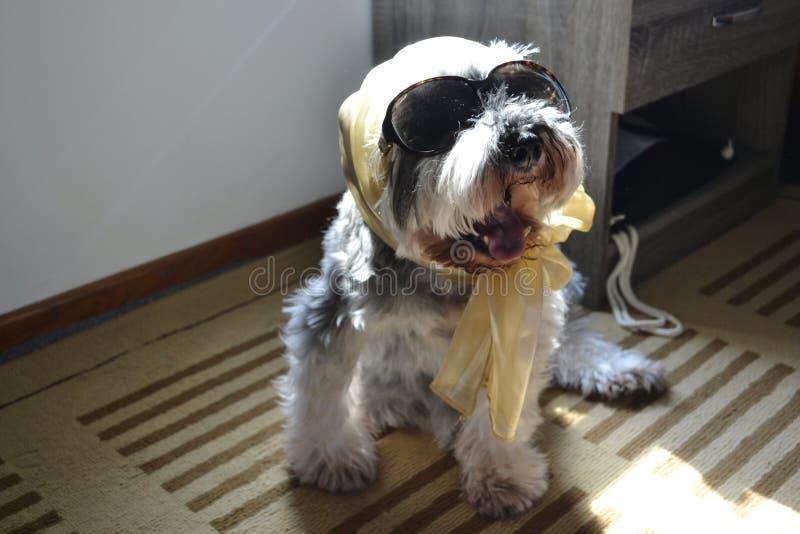 O cão à moda e elegante todo do schnauzer diminuto vestiu acima t fotos de stock royalty free