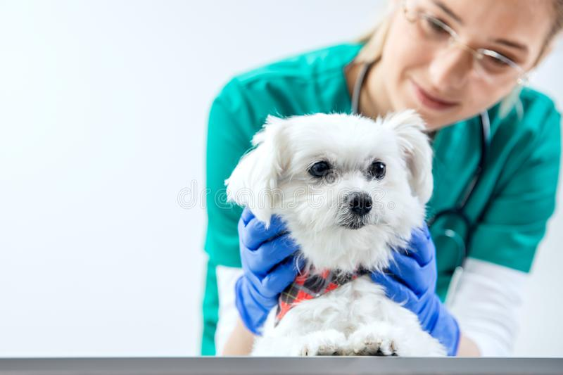 O cão é examinado pelo veterinário fotos de stock