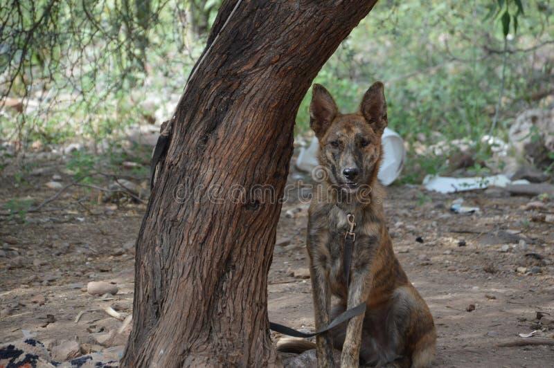 O cão amarrou à árvore em Baja California del Sur, México imagens de stock royalty free