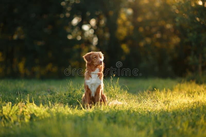 O cão anda na natureza, verdes, flores Nova Scotia Duck Tolling Retriever foto de stock royalty free
