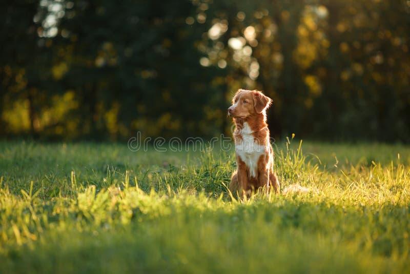 O cão anda na natureza, verdes, flores Nova Scotia Duck Tolling Retriever imagens de stock