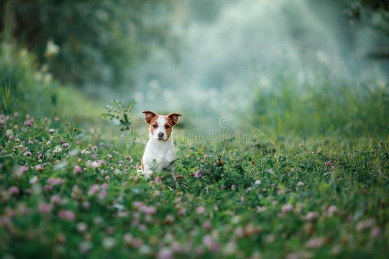 O cão anda na natureza, verdes, Jack Russell Terrier na grama foto de stock royalty free