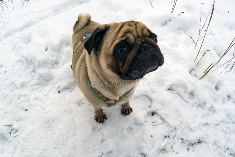 O cão anda no inverno foto de stock royalty free