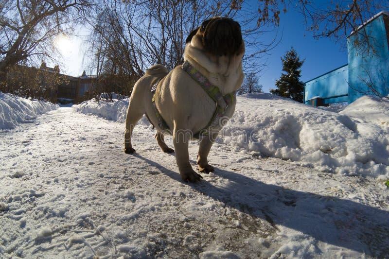 O cão anda no inverno imagem de stock