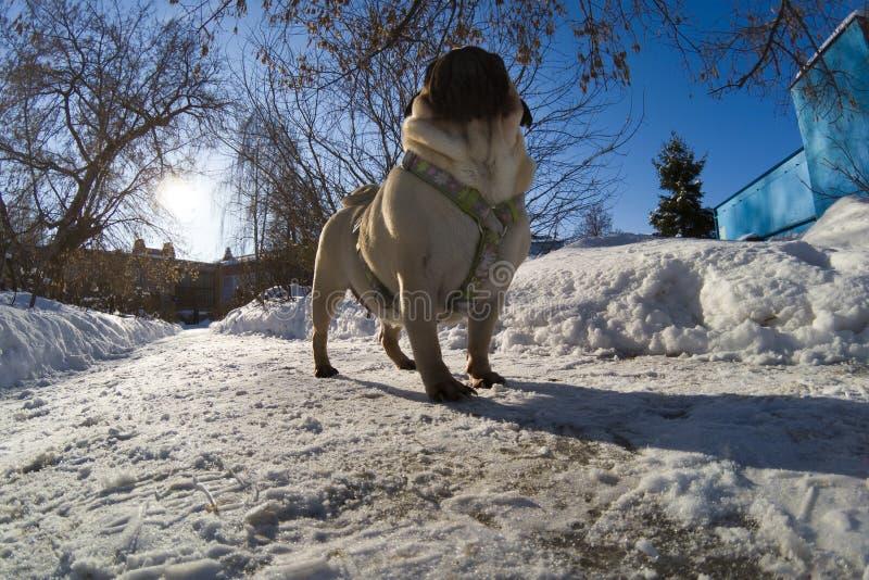 O cão anda no inverno imagens de stock