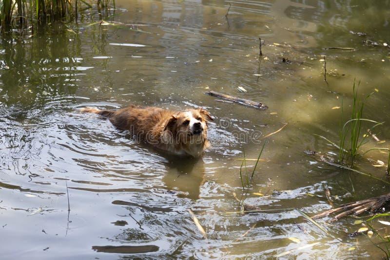 O cão aprecia a água fresca do lago em um dia de verão quente foto de stock