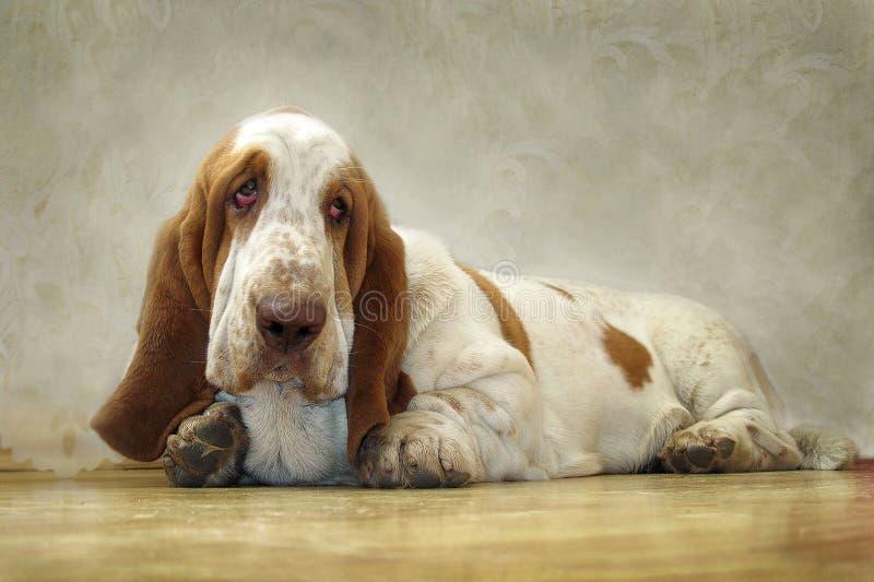 O cão Basset Hound olha os olhos tristes imagem de stock