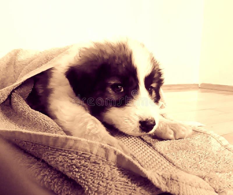 O cão, betty imagem de stock royalty free