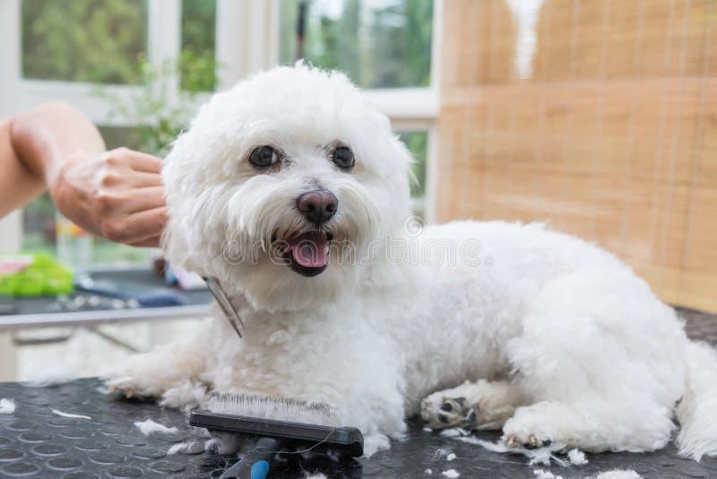 O cão bolonhês branco bonito está apreciando a preparação fotos de stock