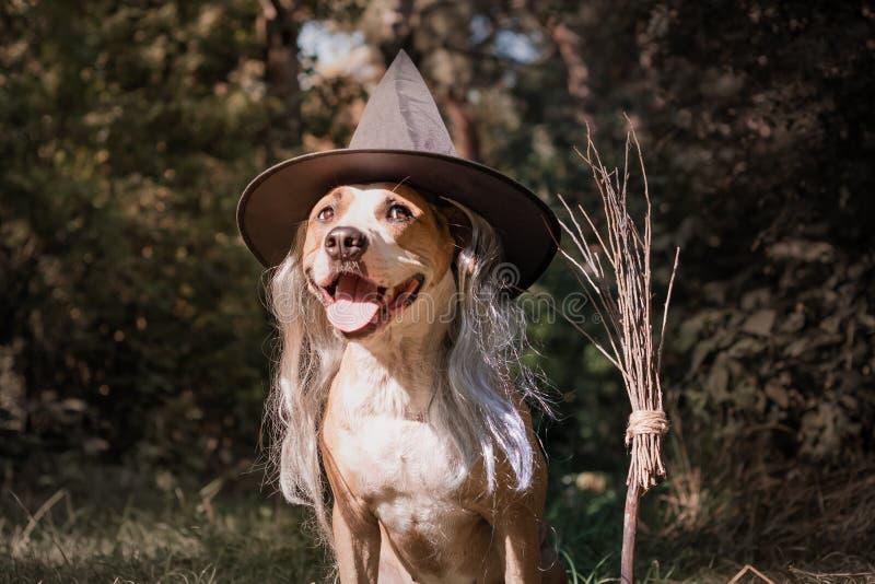 O cão bonito com cabo de vassoura vestiu-se acima para o Dia das Bruxas como o amigo imagem de stock