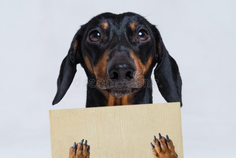 O cão bonito do bassê, preto e bronzeado, guarda suas patas uma bandeira, um cartaz ou um quadro-negro vazio, no fundo cinzento foto de stock