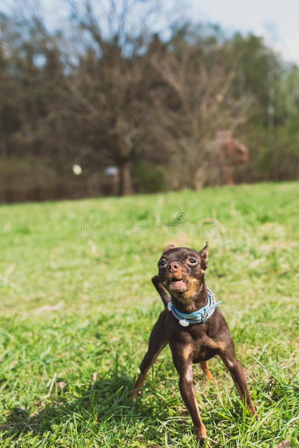 O cão bonito do terrier de brinquedo do russo descasca e olha à câmera imagens de stock