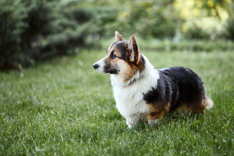 O cão bonito e adorável do Corgi de Galês anda no parque fotografia de stock