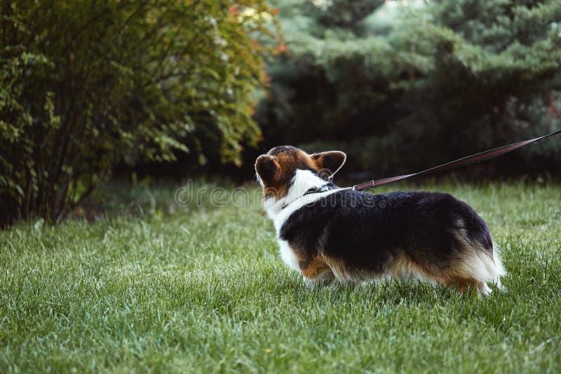 O cão bonito e adorável do Corgi de Galês anda no parque, vista traseira foto de stock