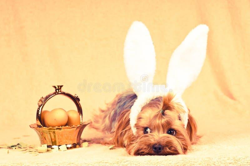 O cão bonito gosta do coelhinho da Páscoa fotos de stock royalty free