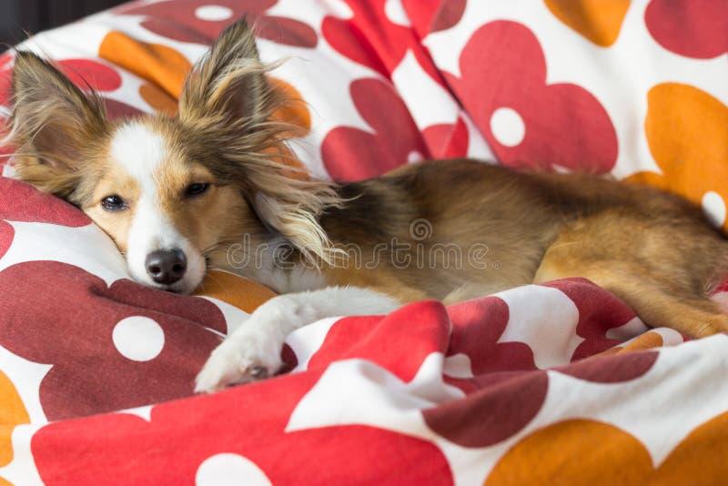 O cão bonito relaxa no saco de feijão fotos de stock