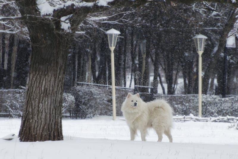 O cão branco anda em um dia nevado fotografia de stock royalty free