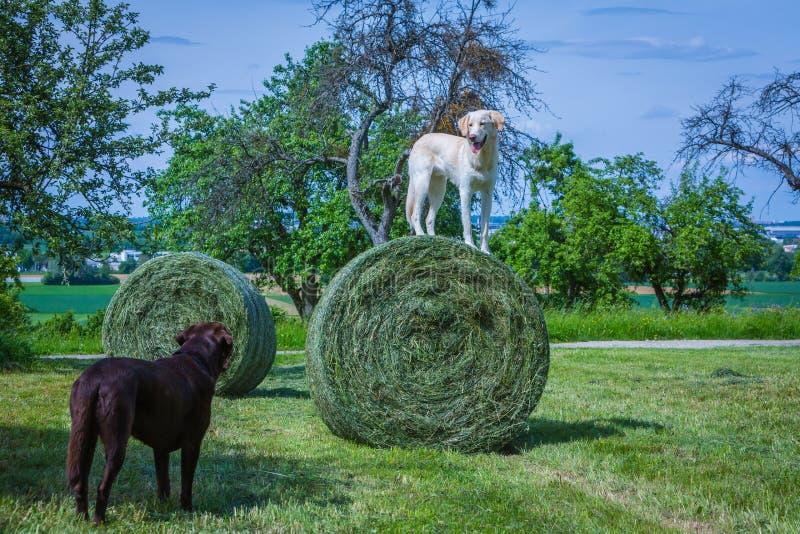 O cão branco está hey em uma bola fotos de stock