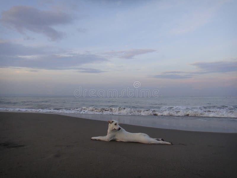 O cão branco na praia em Bali fotos de stock