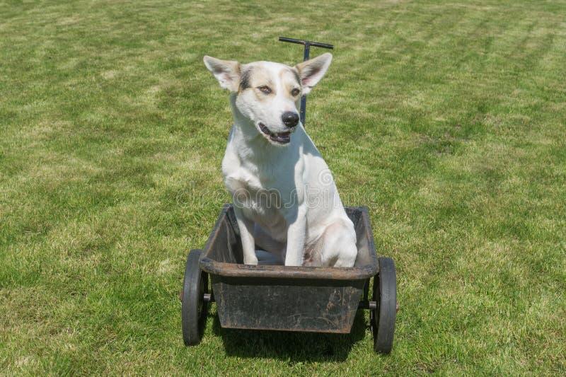 O cão branco que espera até o mestre conduziria este Ca canino fresco foto de stock