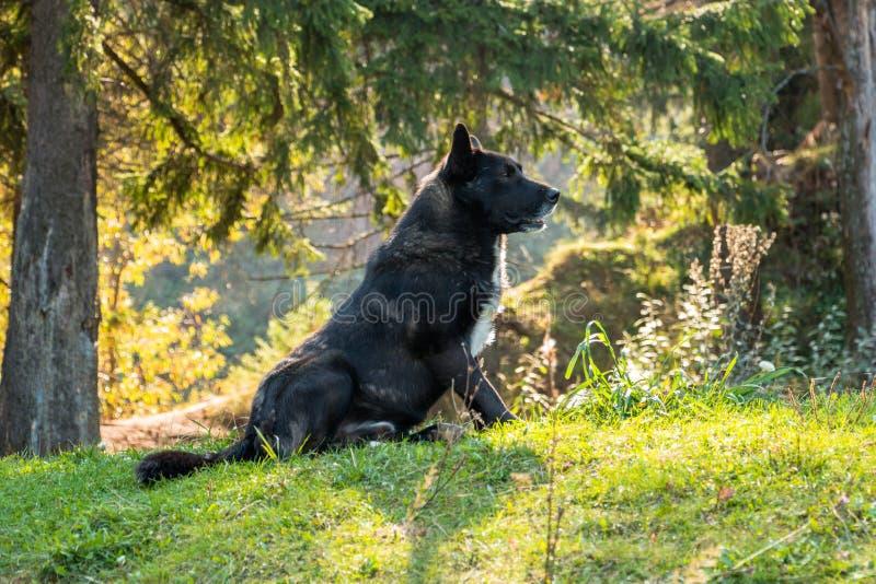 O cão caçador de lobos senta-se nas madeiras sob o abeto vermelho fotografia de stock