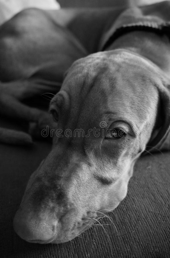 O cão cansou-se foto de stock