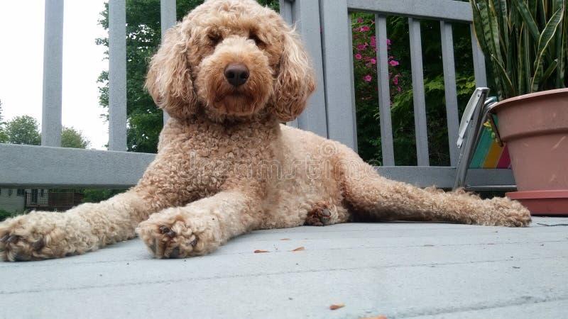 O cão chillen fotografia de stock