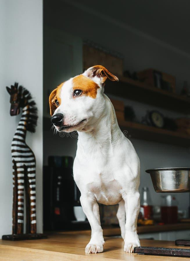 O cão com fome de Jack Russell Terrier está na tabela perto da bacia vazia do alimento e pede o alimento Retrato vertical foto de stock royalty free