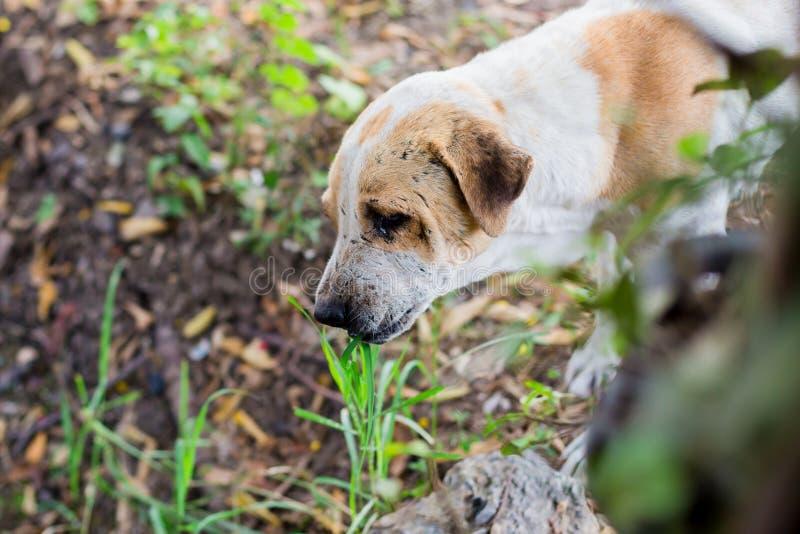 O cão come a grama fotos de stock royalty free