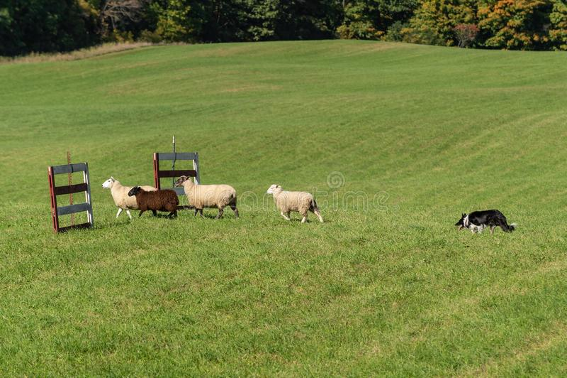 O cão conservado em estoque anda acima ao grupo de aries do Ovis dos carneiros através das cercas fotografia de stock royalty free