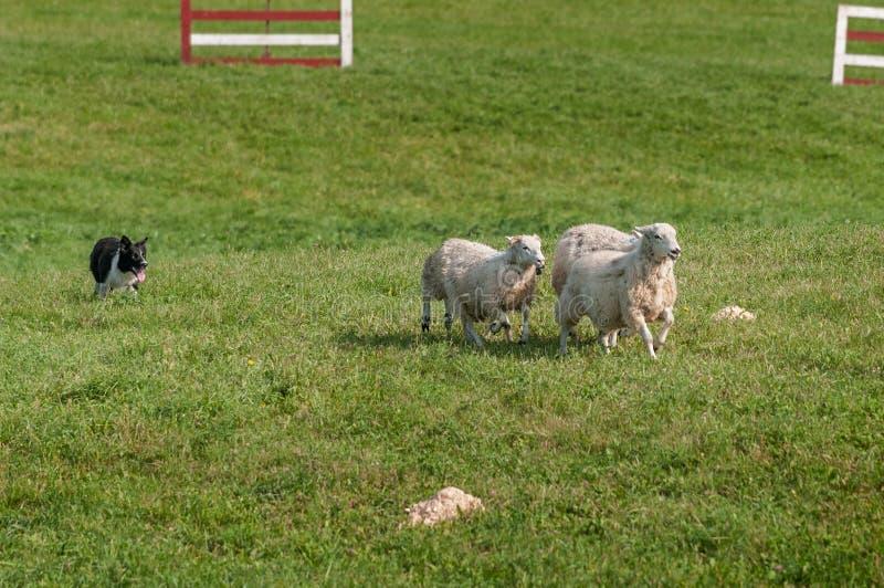 O cão conservado em estoque corre o aries do Ovis dos carneiros com da reunião do curso fotos de stock