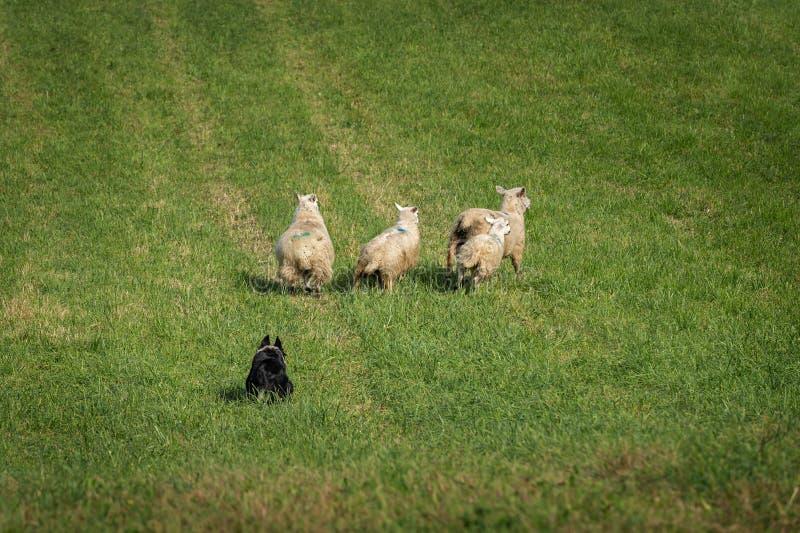 O cão conservado em estoque move o aries do Ovis dos carneiros para fora no campo imagem de stock