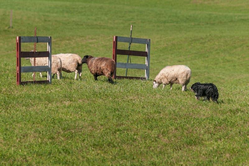 O cão conservado em estoque move o grupo de aries do Ovis dos carneiros através das cercas fotografia de stock royalty free