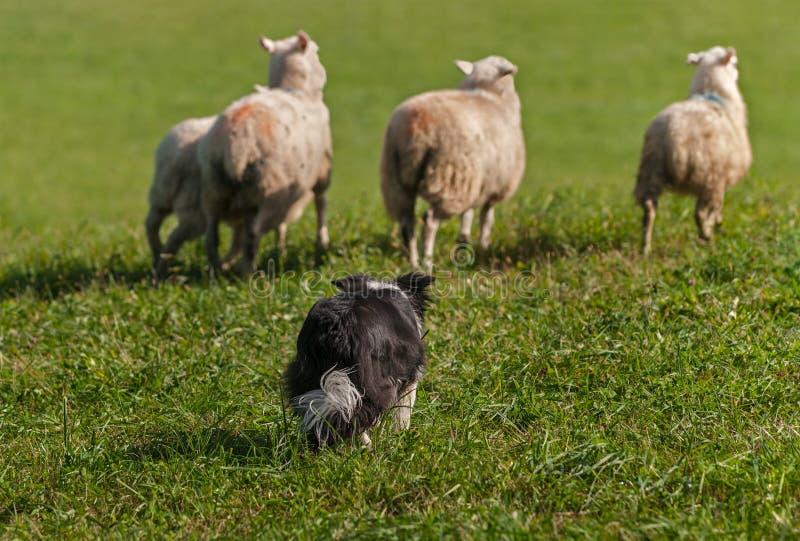 O cão conservado em estoque move o grupo de aries do Ovis dos carneiros para fora no campo fotos de stock royalty free