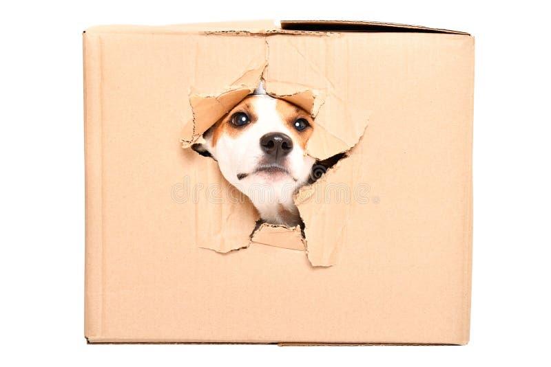 O cão curioso olha fora de um furo rasgado em uma caixa imagem de stock