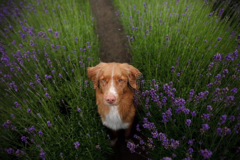 O cão dá a pata Animal de estimação nas cores da alfazema Imagem de cima de Face engraçada fotografia de stock