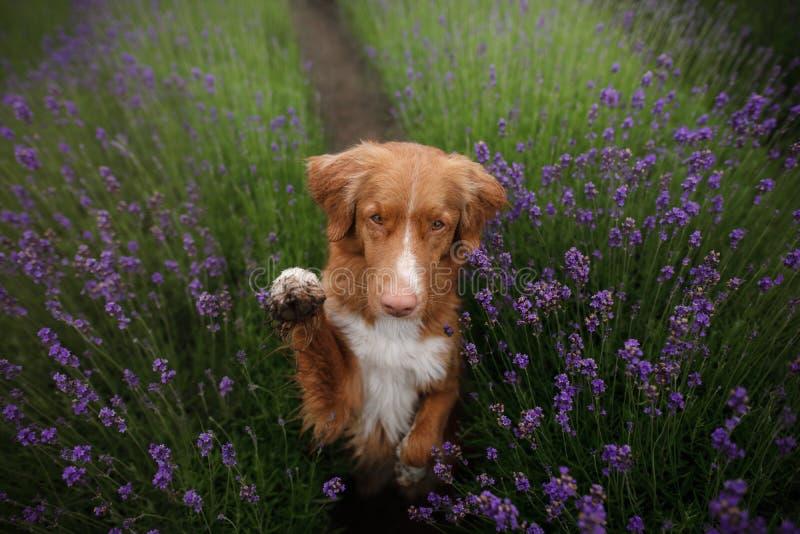 O cão dá a pata Animal de estimação nas cores da alfazema Imagem de cima de Face engraçada fotografia de stock royalty free