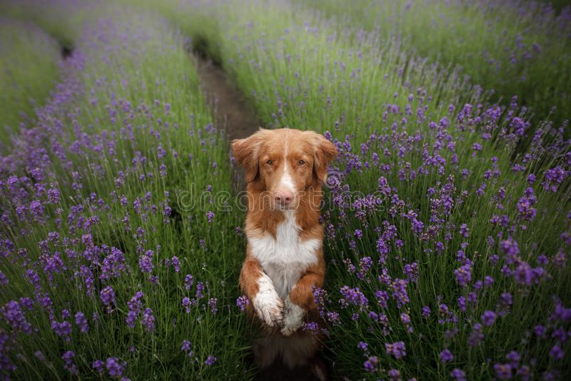 O cão dá a pata Animal de estimação nas cores da alfazema Imagem de cima de Face engraçada foto de stock