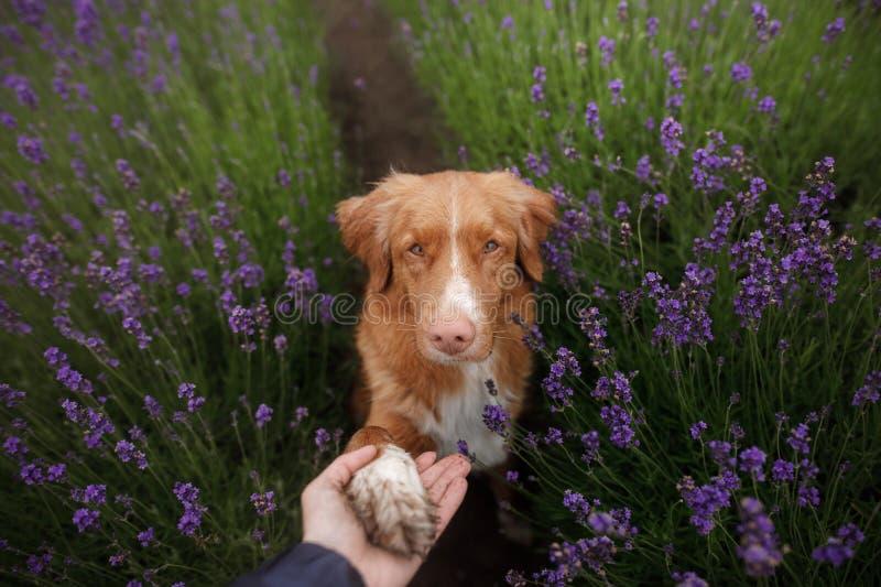 O cão dá a pata Animal de estimação nas cores da alfazema Imagem de cima de Face engraçada imagem de stock
