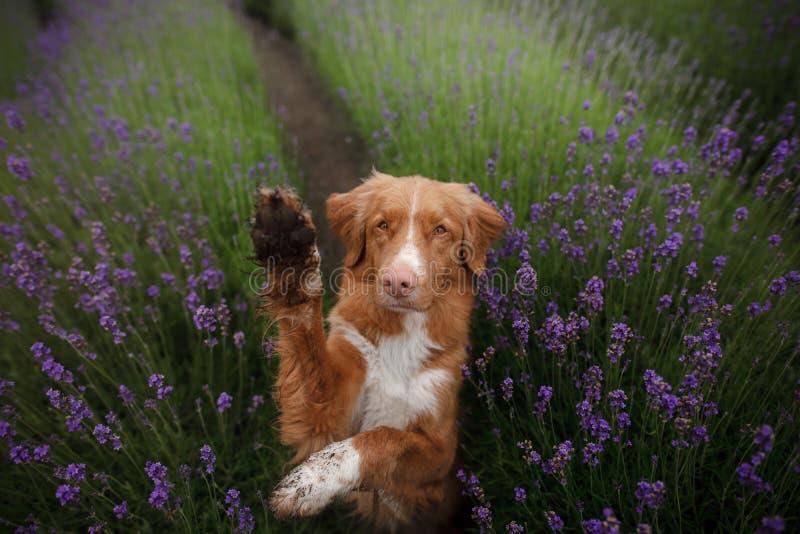 O cão dá a pata Animal de estimação nas cores da alfazema Imagem de cima de Face engraçada foto de stock royalty free