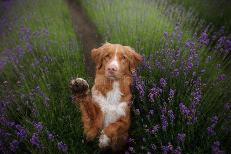 O cão dá a pata Animal de estimação nas cores da alfazema Imagem de cima de Face engraçada fotos de stock royalty free