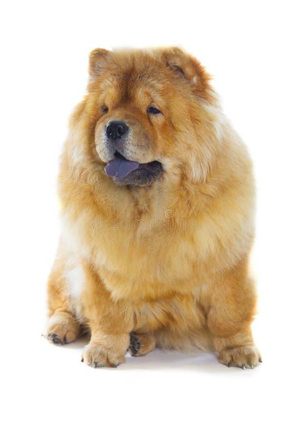 O cão da comida-comida fotografia de stock royalty free